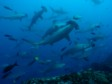 THE GALAPAGOS ISLANDS: Dive with hammerhead sharks and much, much more